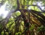 Uapaca guineensis, arbre remarquable du Parc national de Taï