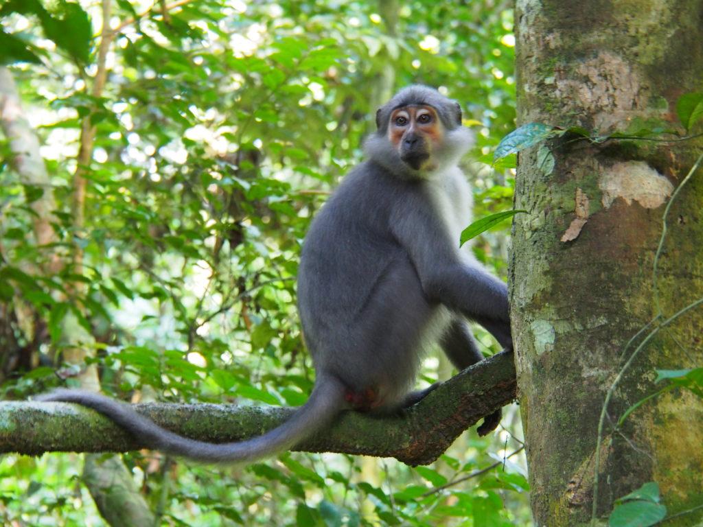Natahi, mangabey habitué du Parc National de Taï