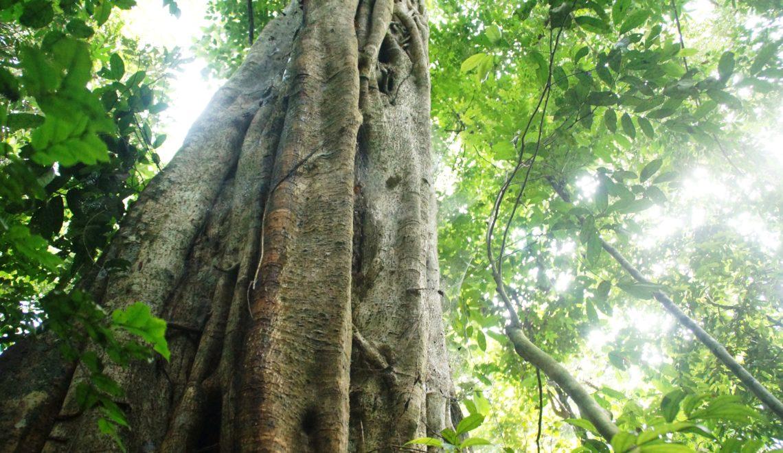 Le Parc National de Taï est l'un des plus grands vestiges de forêt tropicale primaire