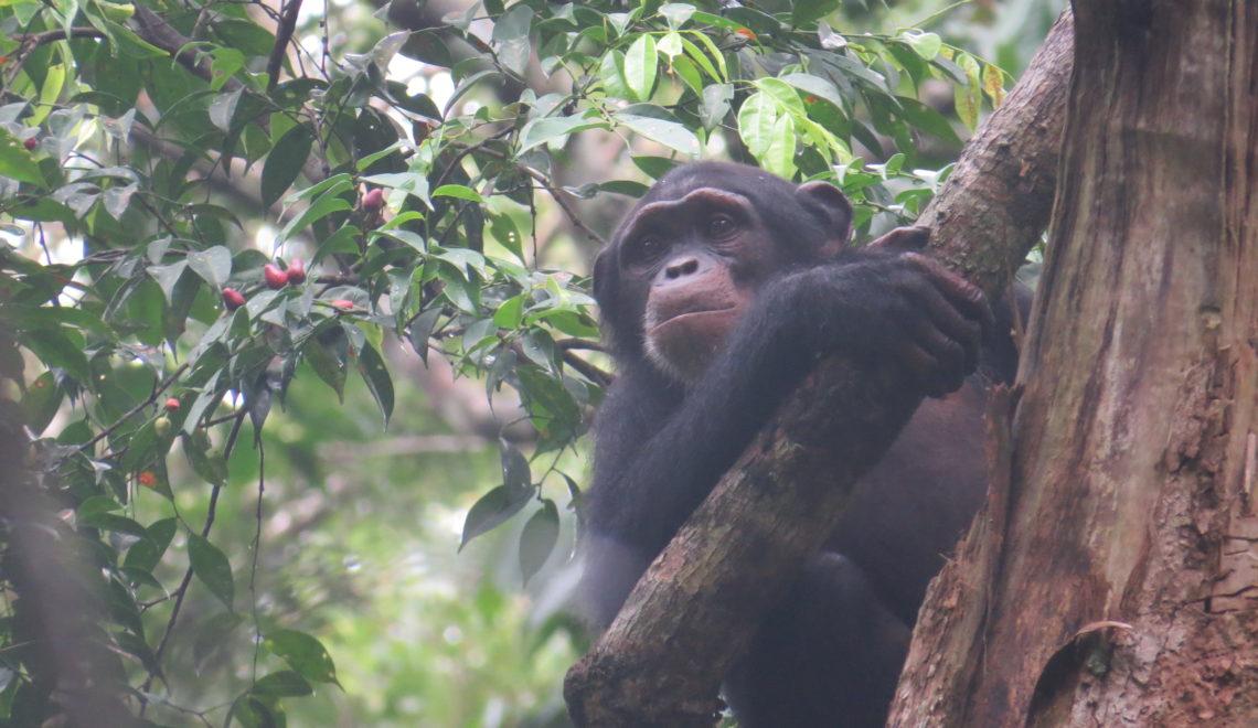 Chimpanzé admirant la forêt du Parc National de Taï