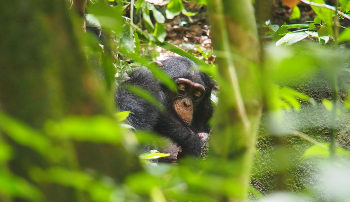Un chimpanzé en train de manger au coeur du Parc National de Taï