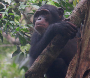 Chimpanzé dans un arbre